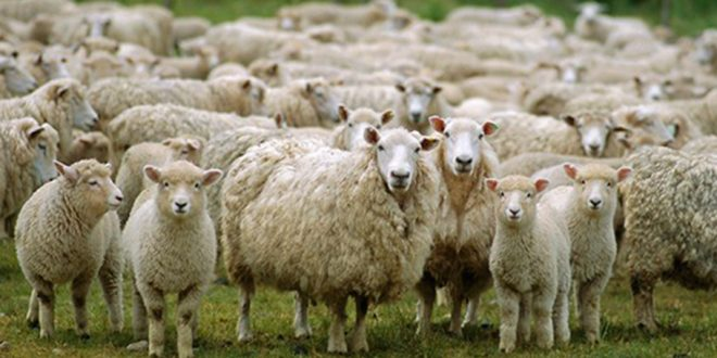Merada otlayan koyunlar zehirlendi