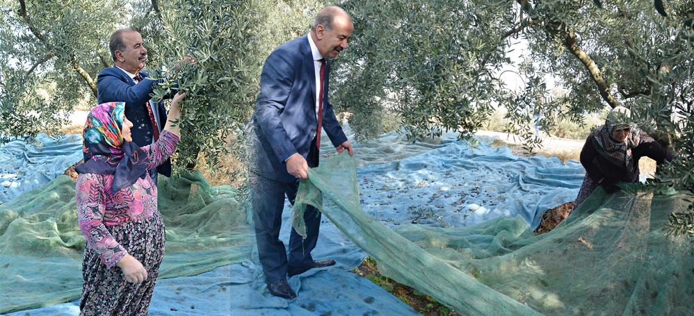Hayri Türkyılmaz zeytin hasadına katıldı