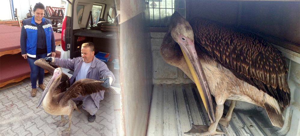 Yavru pelikan yorgun düşünce Mudanya'ya uğradı